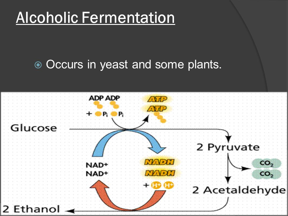 Alcoholic Fermentation  Occurs in yeast and some plants.