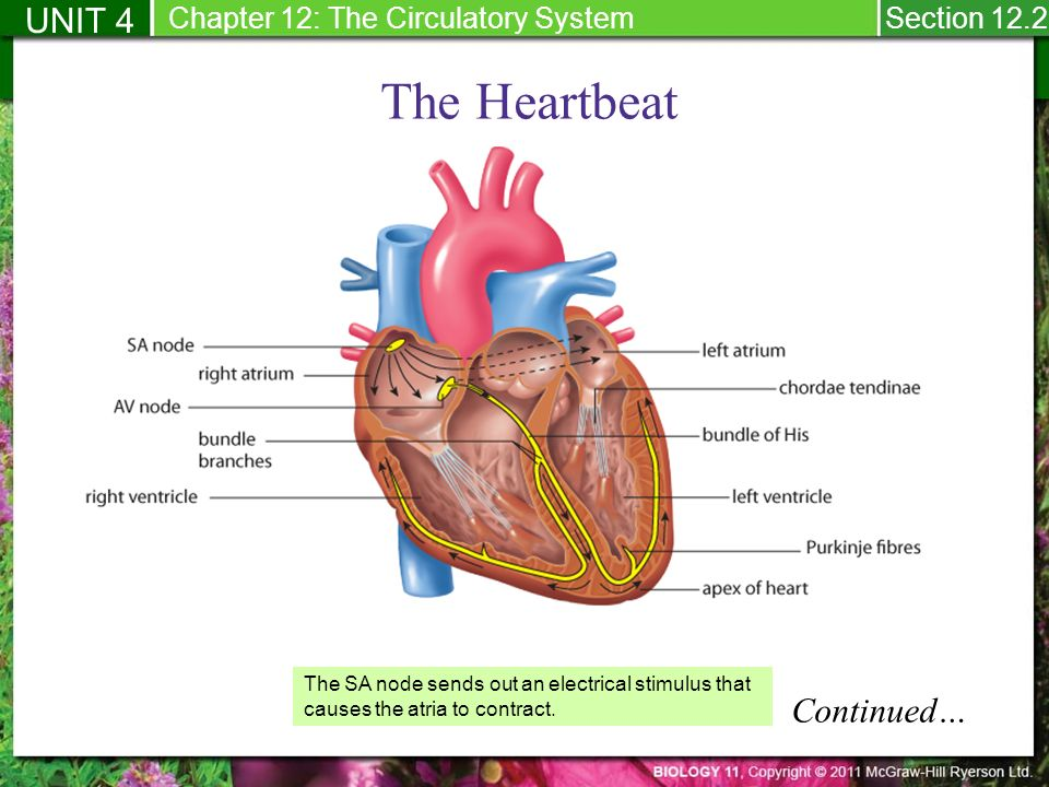122 Monitoring The Human Circulatory System Within The Heart The