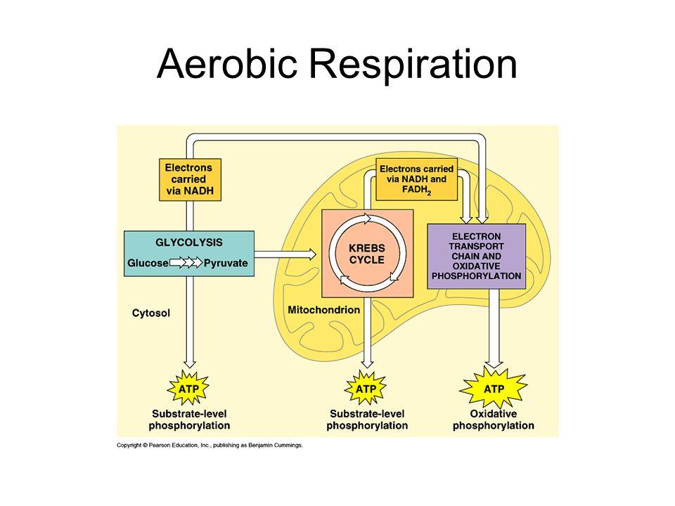 Atp energy molecule energy anaerobic respiration also known as 5 aerobic respiration ccuart Images