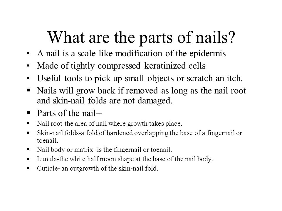 33 What Are The Parts Of Nails A Nail Is Scale Like Modification Epidermis Made Ly Compressed Keratinized Cells Useful Tools To Pick Up
