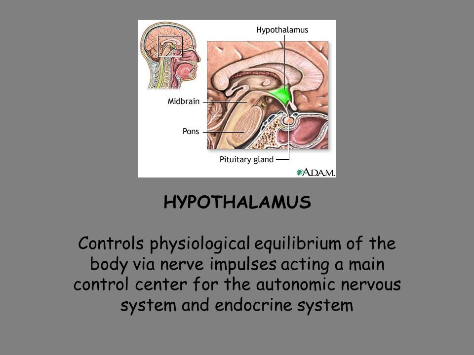 HYPOTHALAMUS Controls physiological equilibrium of the body via nerve impulses acting a main control center for the autonomic nervous system and endocrine system