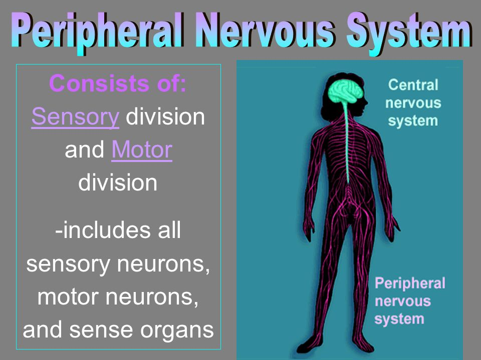 Consists of: Sensory division and Motor division -includes all sensory neurons, motor neurons, and sense organs