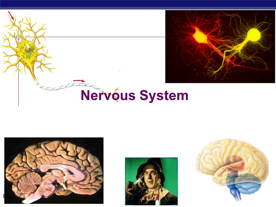 PreAp Biology Nervous System