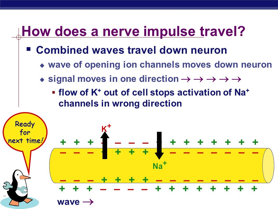 PreAp Biology How does a nerve impulse travel.