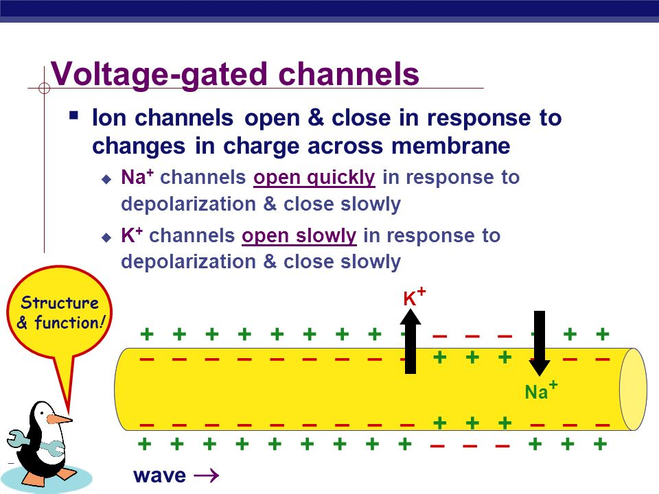 PreAp Biology Voltage-gated channels  Ion channels open & close in response to changes in charge across membrane  Na + channels open quickly in response to depolarization & close slowly  K + channels open slowly in response to depolarization & close slowly +++++–++++++–– –++++++––+ –––––+––––––++– –––––+––––––++– Na + K+K+ wave  Structure & function!