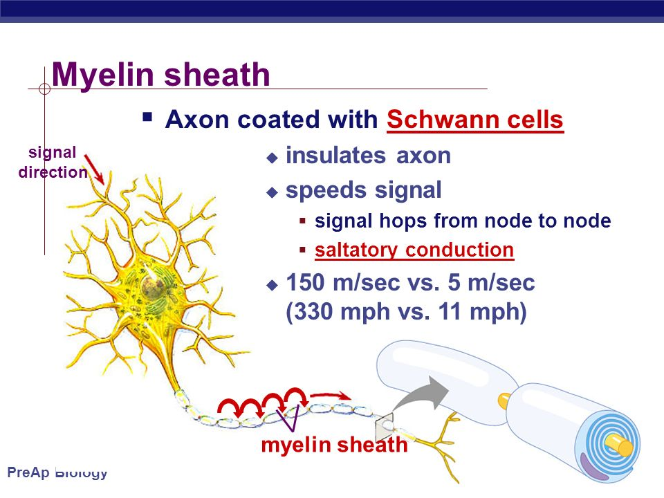 PreAp Biology Myelin sheath signal direction  Axon coated with Schwann cells  insulates axon  speeds signal  signal hops from node to node  saltatory conduction  150 m/sec vs.