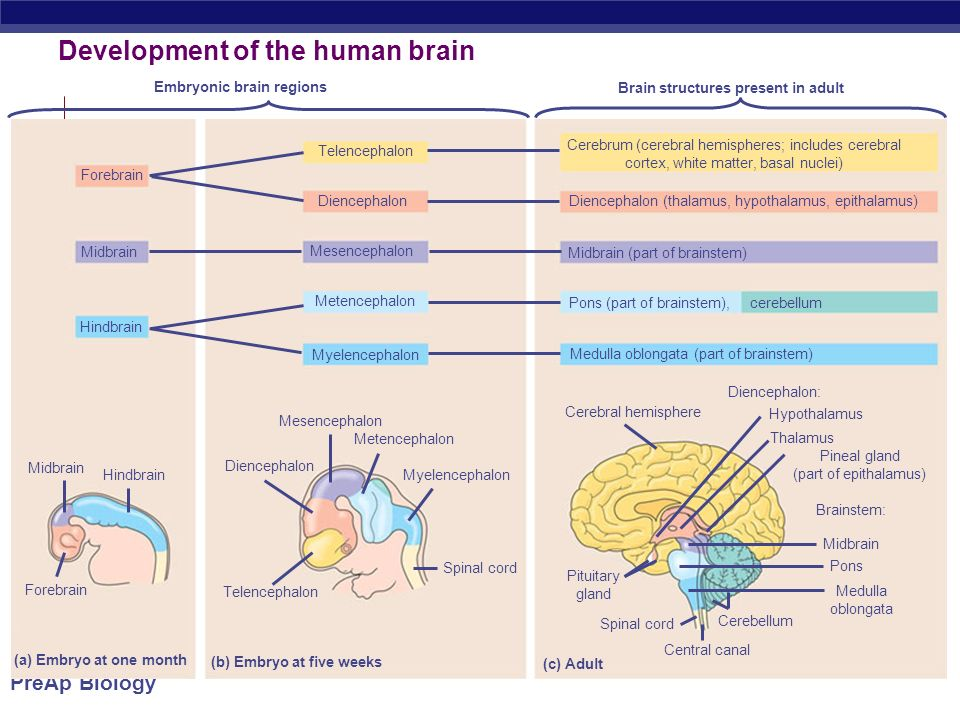 PreAp Biology Development of the human brain Embryonic brain regions Brain structures present in adult Forebrain Telencephalon Midbrain Hindbrain Diencephalon Mesencephalon Metencephalon Myelencephalon Cerebrum (cerebral hemispheres; includes cerebral cortex, white matter, basal nuclei) Diencephalon (thalamus, hypothalamus, epithalamus) Midbrain (part of brainstem) Pons (part of brainstem), cerebellum Medulla oblongata (part of brainstem) Midbrain Hindbrain Forebrain (a) Embryo at one month (b) Embryo at five weeks (c) Adult Mesencephalon Metencephalon Myelencephalon Spinal cord Diencephalon Telencephalon Cerebral hemisphere Diencephalon: Hypothalamus Thalamus Pineal gland (part of epithalamus) Brainstem: Midbrain Pons Medulla oblongata Cerebellum Central canal Spinal cord Pituitary gland