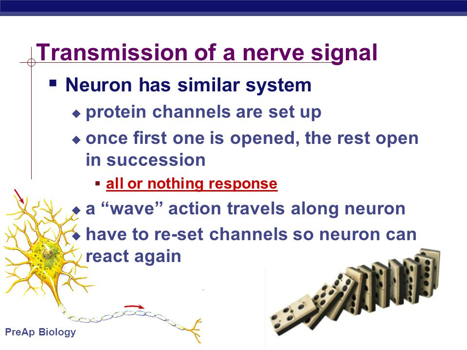 PreAp Biology Transmission of a nerve signal  Neuron has similar system  protein channels are set up  once first one is opened, the rest open in succession  all or nothing response  a wave action travels along neuron  have to re-set channels so neuron can react again