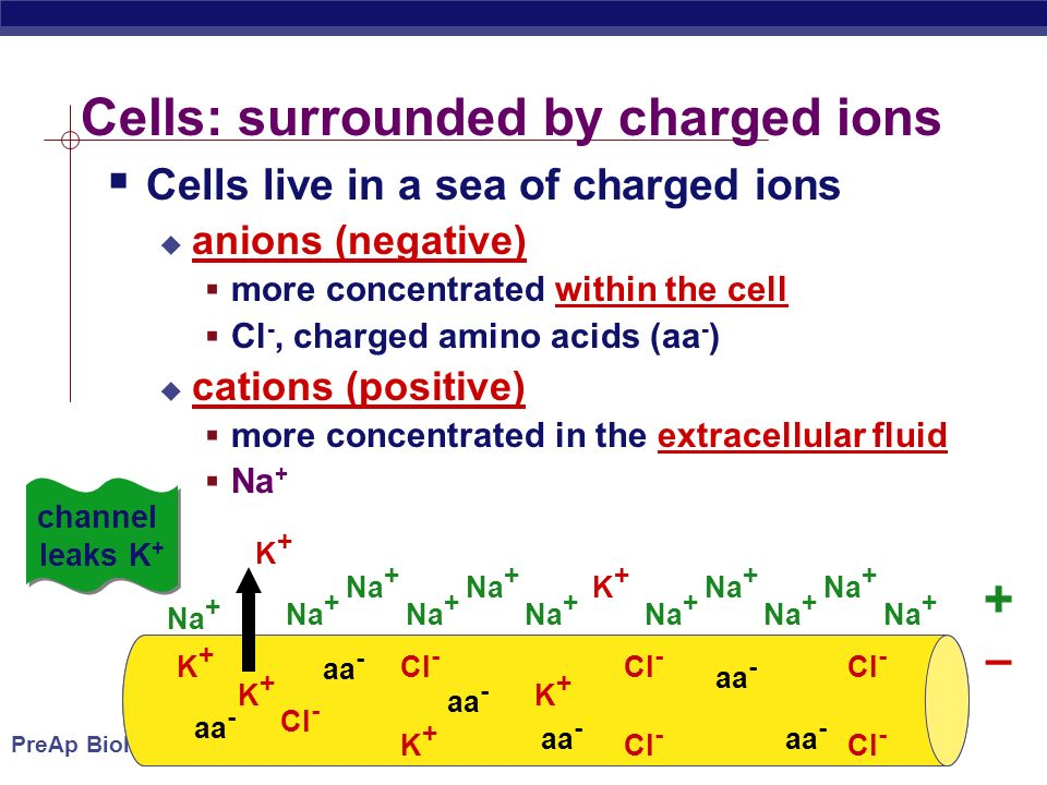 PreAp Biology Cells: surrounded by charged ions  Cells live in a sea of charged ions  anions (negative)  more concentrated within the cell  Cl -, charged amino acids (aa - )  cations (positive)  more concentrated in the extracellular fluid  Na + Na + K+K+ Cl - K+K+ K+K+ aa - K+K+ Cl - aa - K+K+ K+K+ channel leaks K + + –