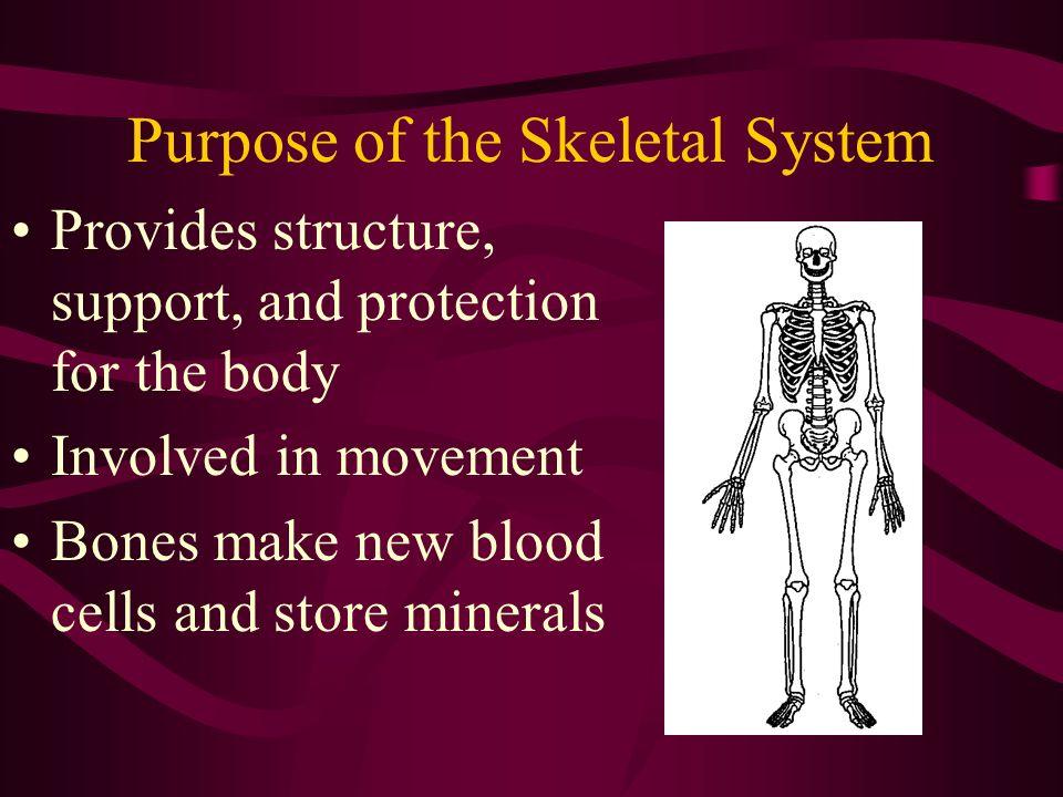 The Skeletal System Purpose Of The Skeletal System Provides