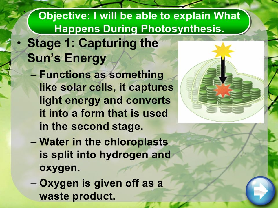 Stage 1: Capturing the Sun's Energy –Functions as something like solar cells, it captures light energy and converts it into a form that is used in the second stage.