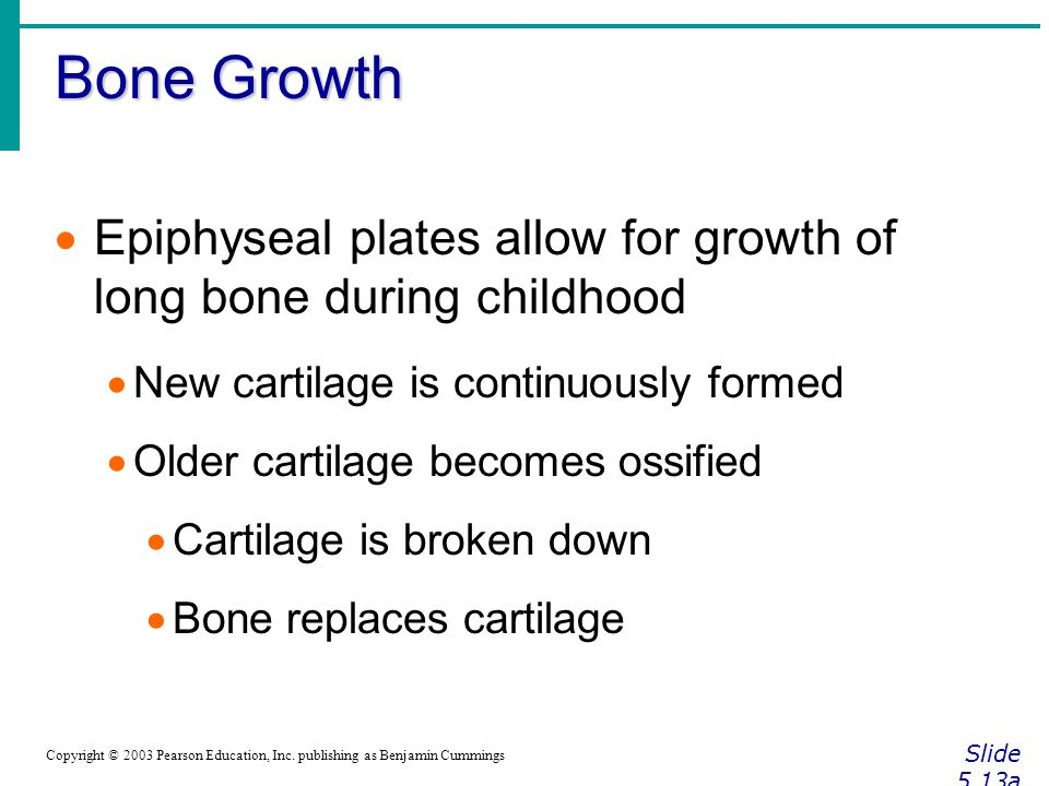 Bone Growth Slide 5.13a Copyright © 2003 Pearson Education, Inc.