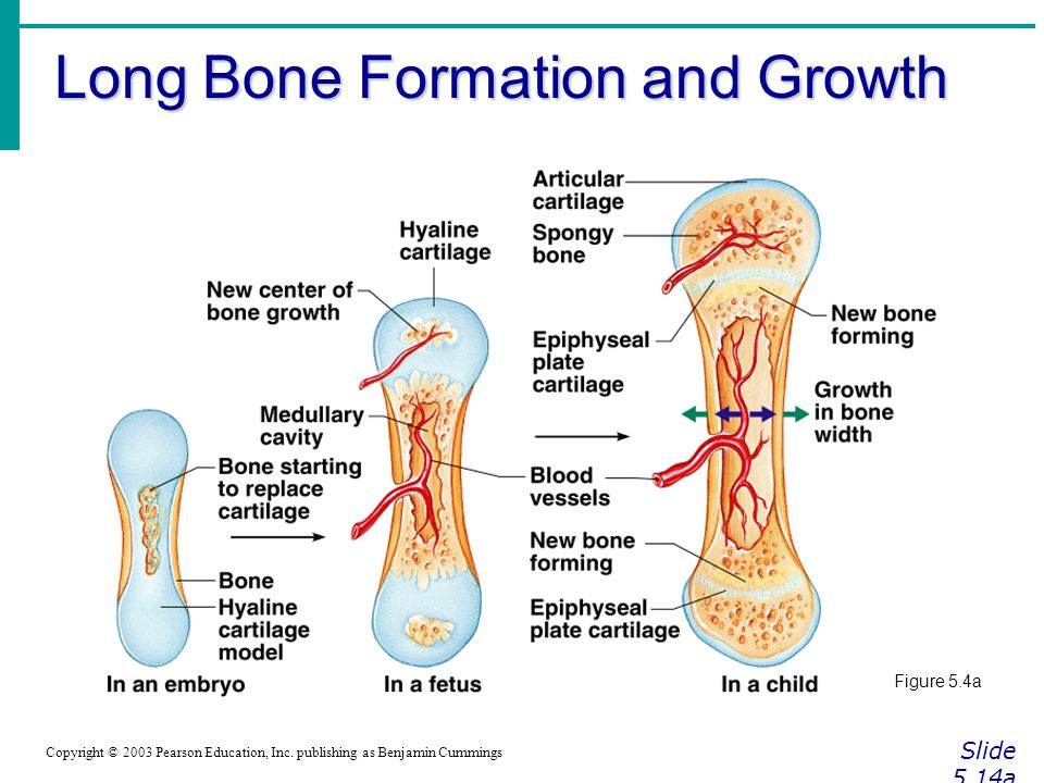 Long Bone Formation and Growth Slide 5.14a Copyright © 2003 Pearson Education, Inc.