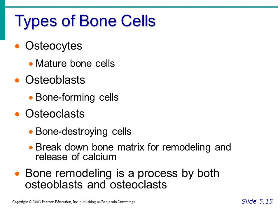 Types of Bone Cells Slide 5.15 Copyright © 2003 Pearson Education, Inc.