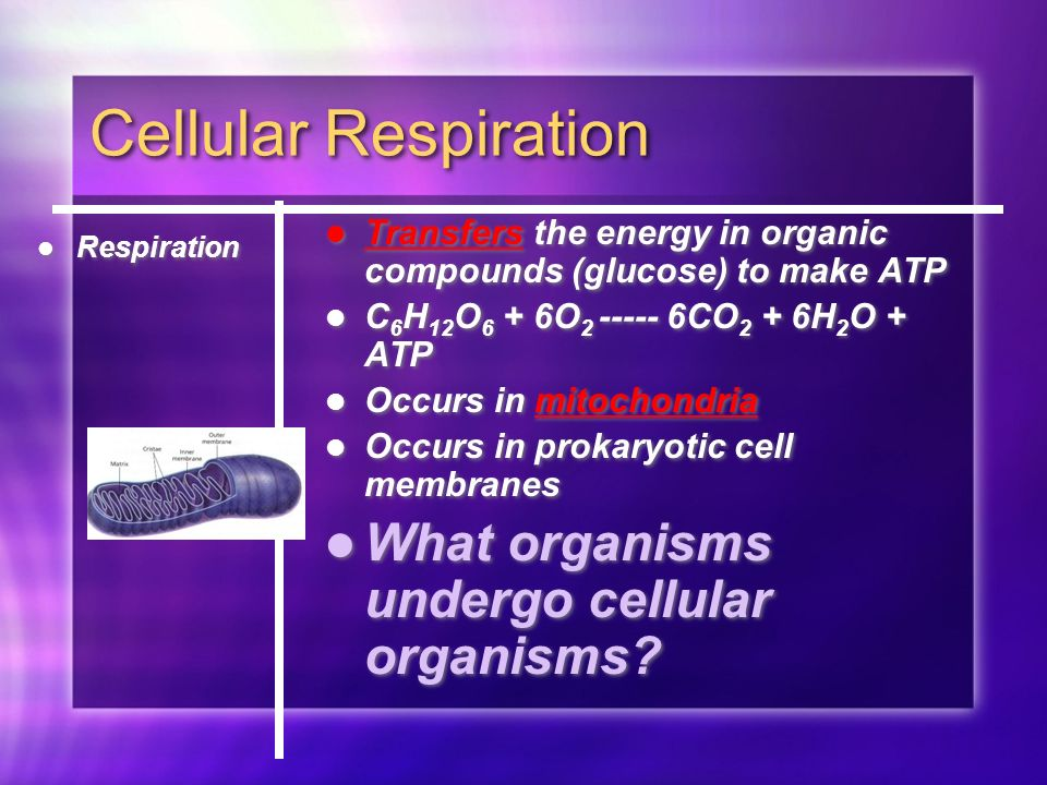 Cellular Respiration Respiration Transfers the energy in organic compounds (glucose) to make ATP C 6 H 12 O 6 + 6O CO 2 + 6H 2 O + ATP Occurs in mitochondria Occurs in prokaryotic cell membranes What organisms undergo cellular organisms