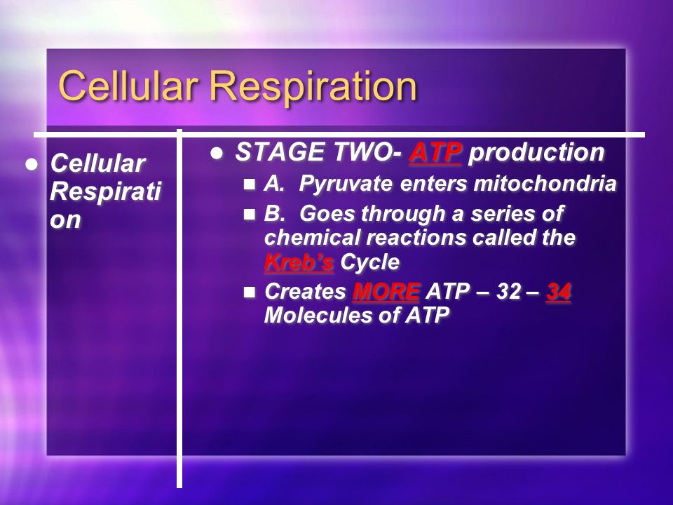 Cellular Respiration STAGE TWO- ATP production A. Pyruvate enters mitochondria B.