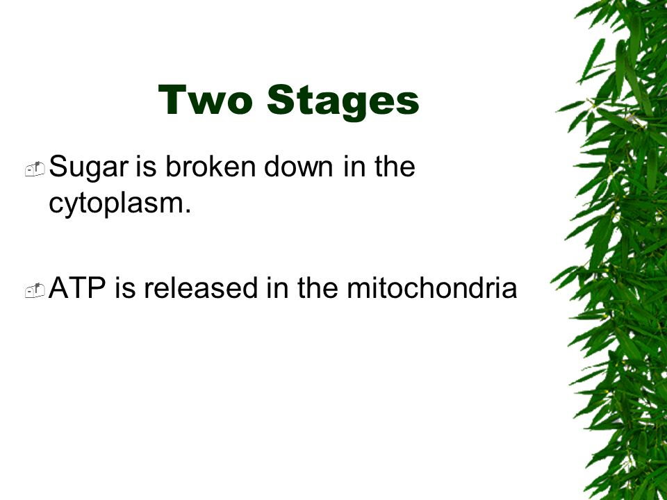Two Stages  Sugar is broken down in the cytoplasm.  ATP is released in the mitochondria