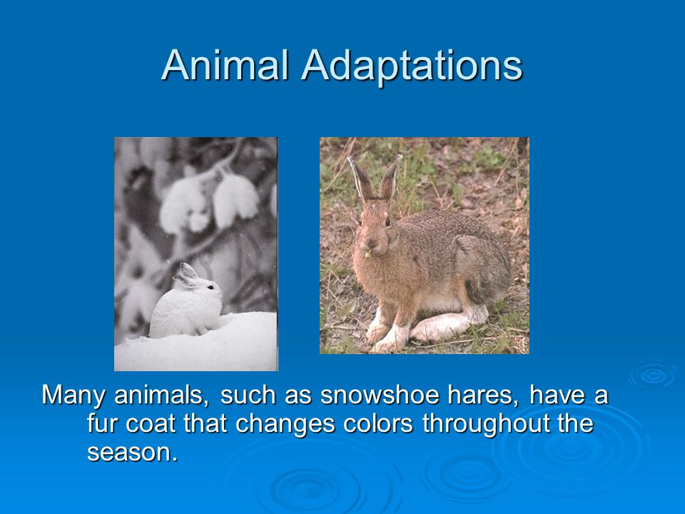 Animal Adaptations Many Animals Such As Snowshoe Hares Have A Fur