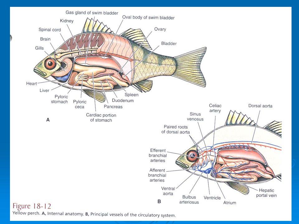 Vertebrata The Fishes Ppt Video Online Download