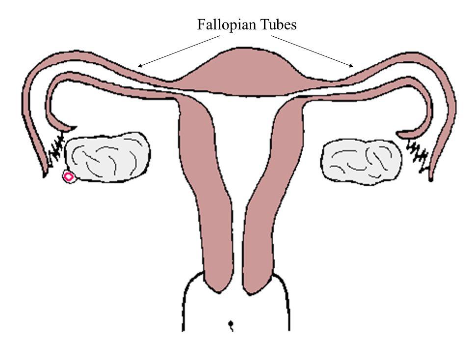 ampulla of fallopian tube