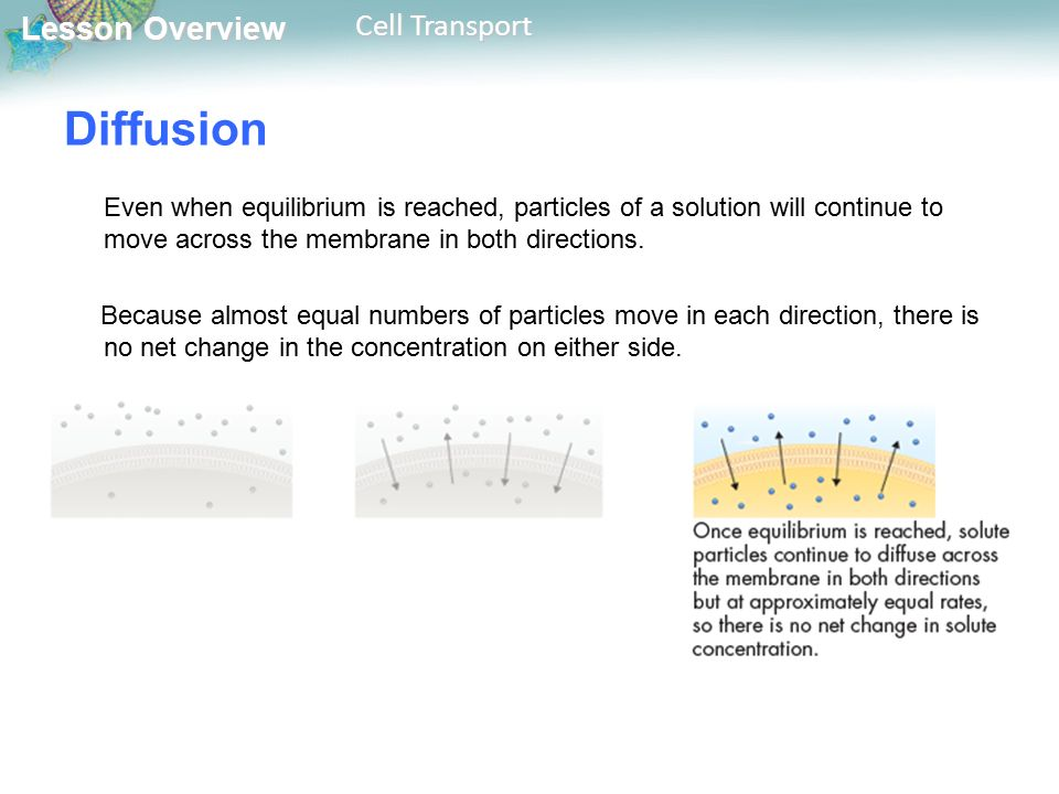 Lesson Overview Lesson Overview Cell Transport Diffusion Even when equilibrium is reached, particles of a solution will continue to move across the membrane in both directions.