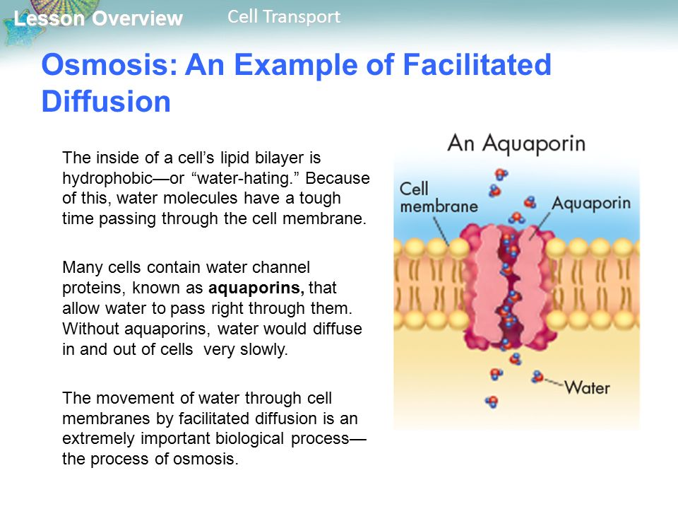 Lesson Overview Lesson Overview Cell Transport Osmosis: An Example of Facilitated Diffusion The inside of a cell's lipid bilayer is hydrophobic—or water-hating. Because of this, water molecules have a tough time passing through the cell membrane.