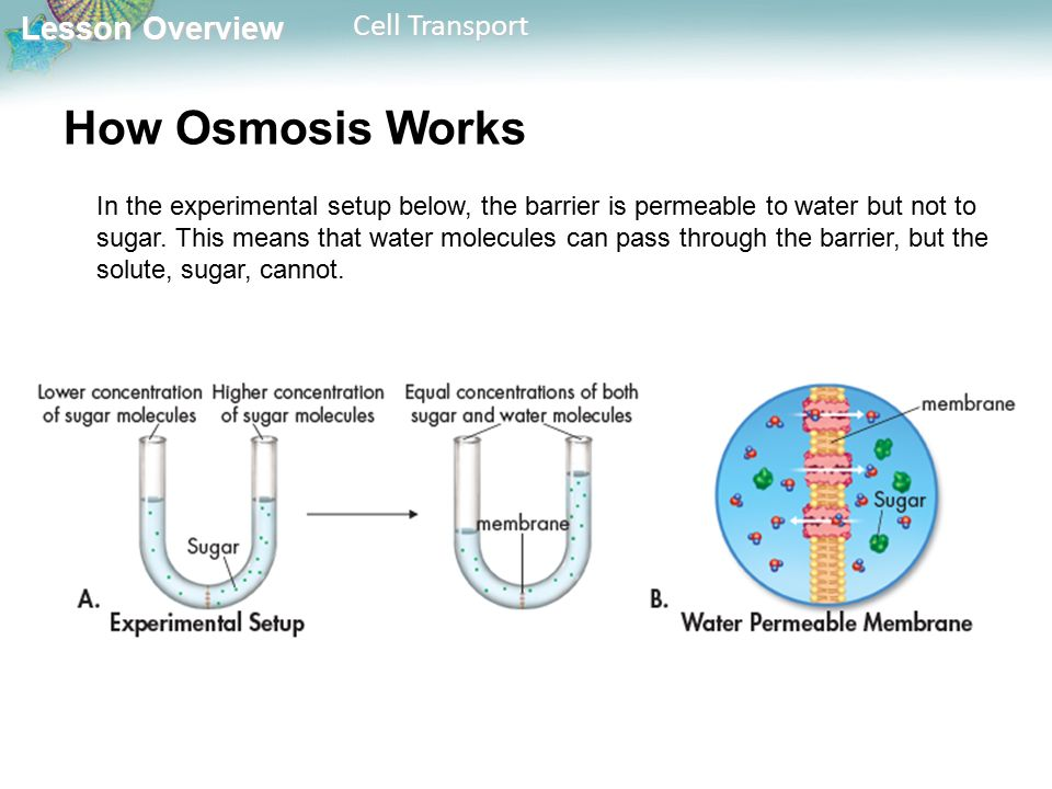 Lesson Overview Lesson Overview Cell Transport How Osmosis Works In the experimental setup below, the barrier is permeable to water but not to sugar.