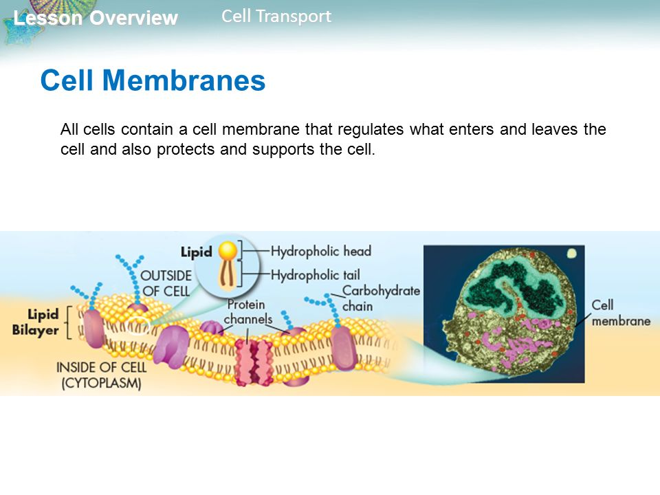 Lesson Overview Lesson Overview Cell Transport Cell Membranes All cells contain a cell membrane that regulates what enters and leaves the cell and also protects and supports the cell.