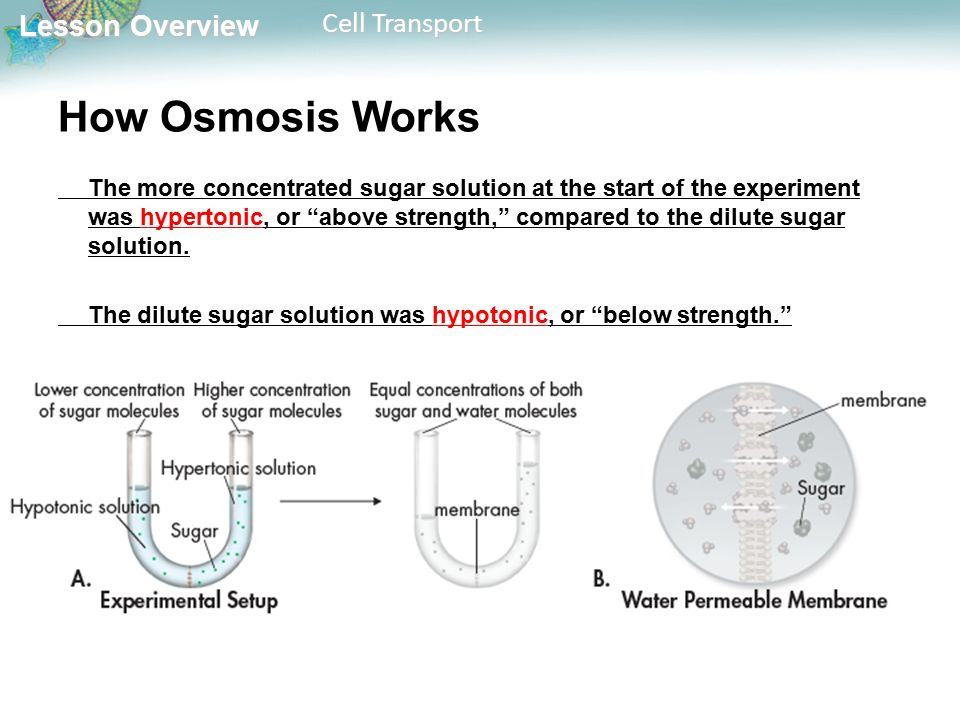 Lesson Overview Lesson Overview Cell Transport How Osmosis Works The more concentrated sugar solution at the start of the experiment was hypertonic, or above strength, compared to the dilute sugar solution.