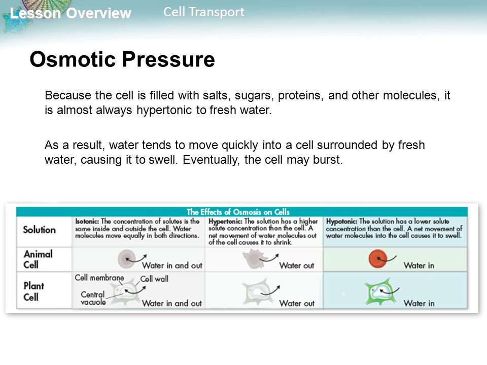 Lesson Overview Lesson Overview Cell Transport Osmotic Pressure Because the cell is filled with salts, sugars, proteins, and other molecules, it is almost always hypertonic to fresh water.