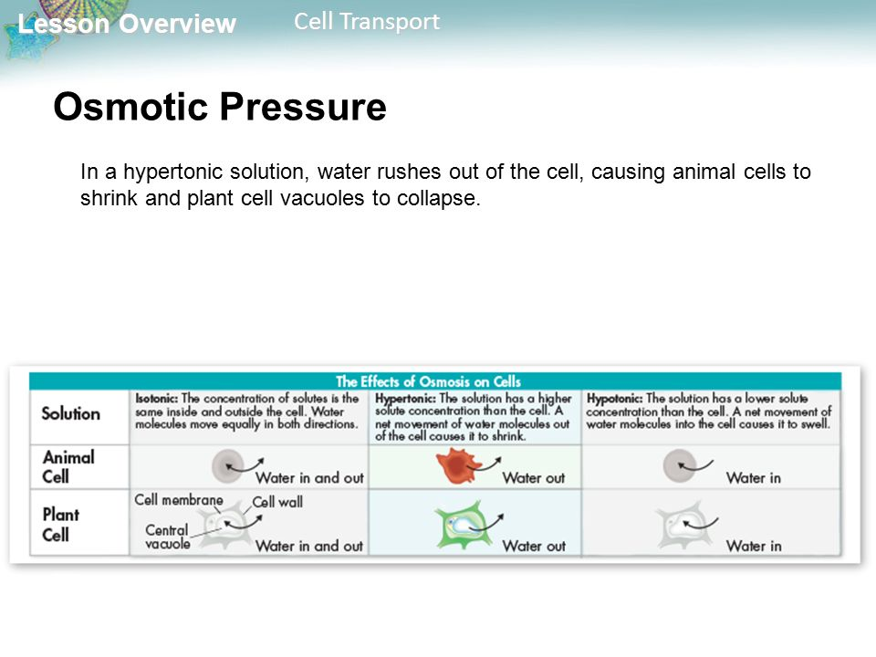Lesson Overview Lesson Overview Cell Transport In a hypertonic solution, water rushes out of the cell, causing animal cells to shrink and plant cell vacuoles to collapse.