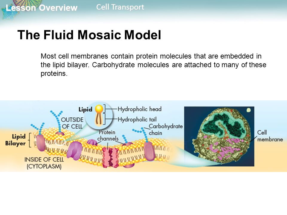 Lesson Overview Lesson Overview Cell Transport The Fluid Mosaic Model Most cell membranes contain protein molecules that are embedded in the lipid bilayer.