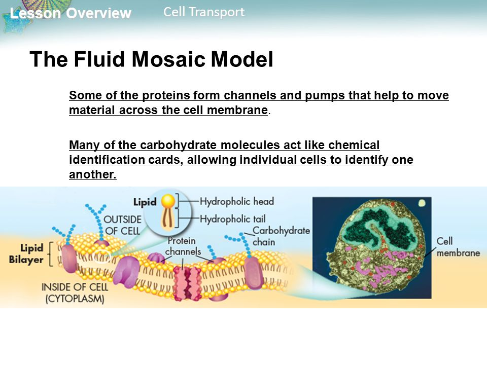Lesson Overview Lesson Overview Cell Transport The Fluid Mosaic Model Some of the proteins form channels and pumps that help to move material across the cell membrane.