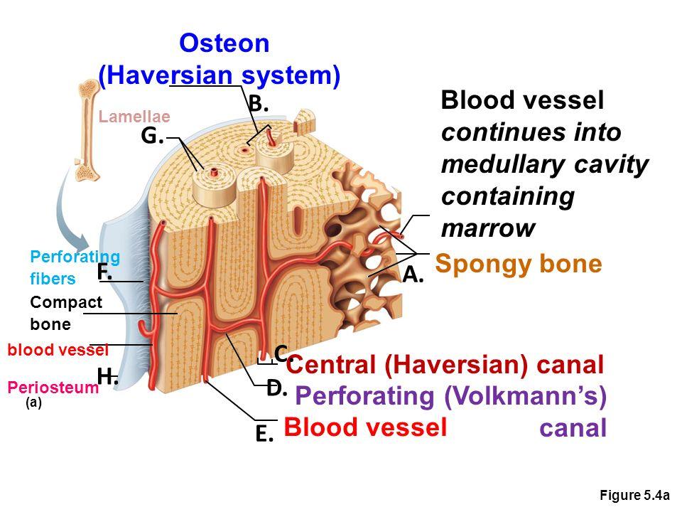 Figure 5.3b Compact bone Spongy bone Articular cartilage (b ...