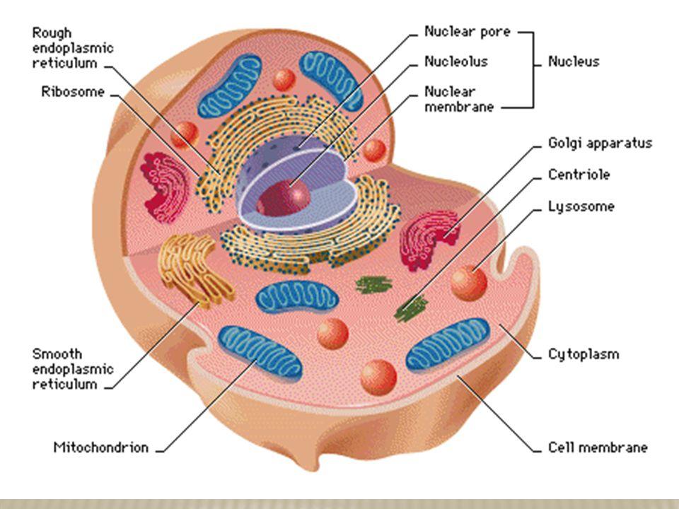 Nucleus nucleolus nuclear envelope chromatin chromosomes download ppt nucleus nucleolus ccuart Choice Image