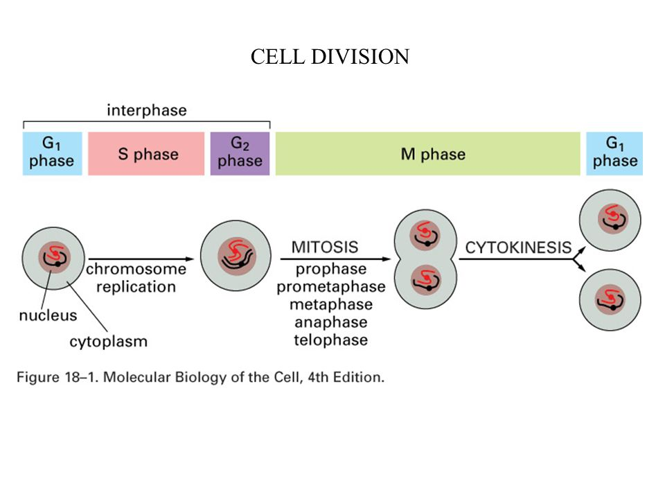 stages of mitosis in an animal cell
