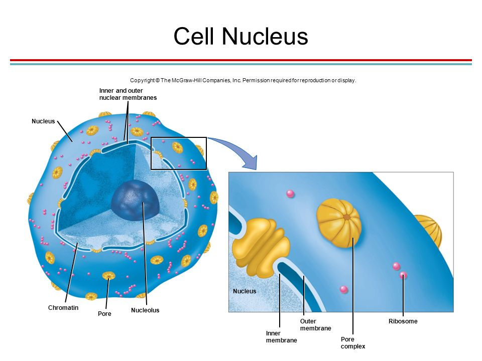Cell Nucleus Copyright © The McGraw-Hill Companies, Inc.