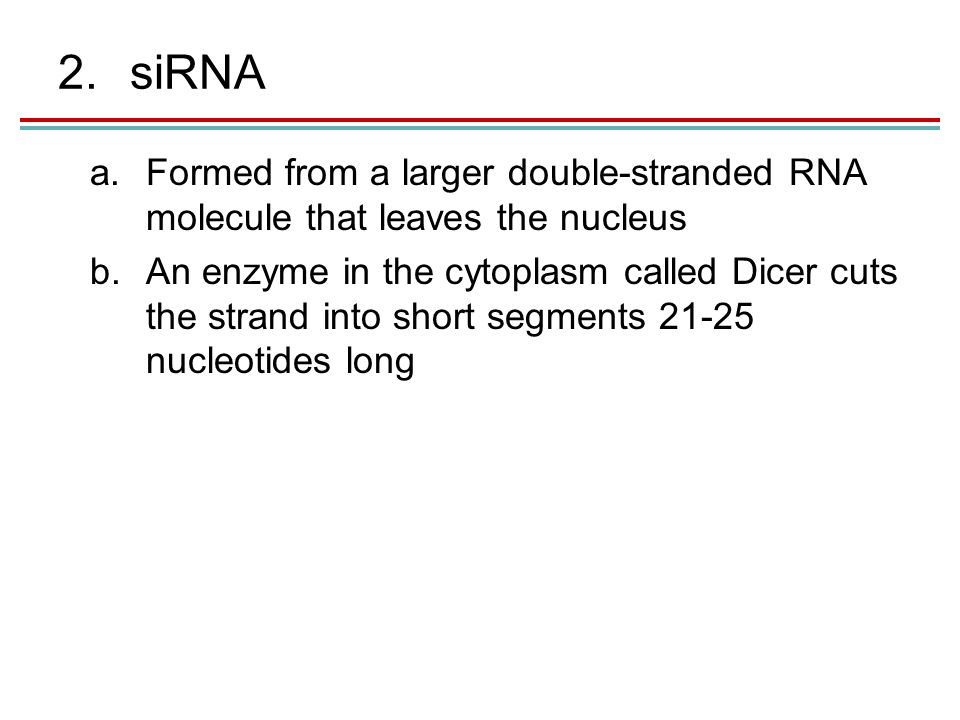 2.siRNA a.Formed from a larger double-stranded RNA molecule that leaves the nucleus b.An enzyme in the cytoplasm called Dicer cuts the strand into short segments 21-25 nucleotides long