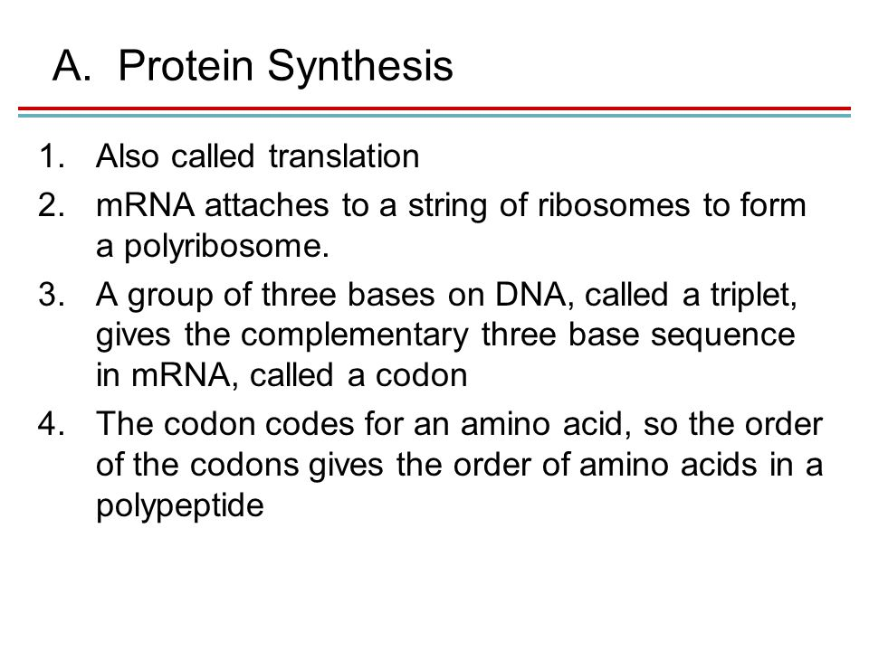 A.Protein Synthesis 1.Also called translation 2.mRNA attaches to a string of ribosomes to form a polyribosome.