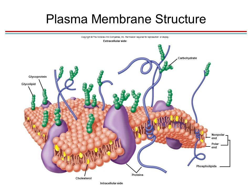 Plasma Membrane Structure Carbohydrate Extracellular side Glycoprotein Glycolipid Cholesterol Proteins Intracellular side Phospholipids Polar end Nonpolar end Copyright © The McGraw-Hill Companies, Inc.