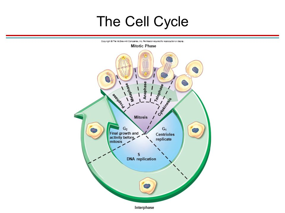 The Cell Cycle Copyright © The McGraw-Hill Companies, Inc.