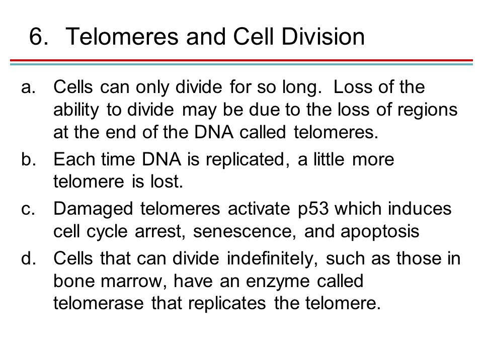 6.Telomeres and Cell Division a.Cells can only divide for so long.