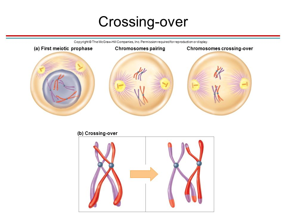 Crossing-over Copyright © The McGraw-Hill Companies, Inc.