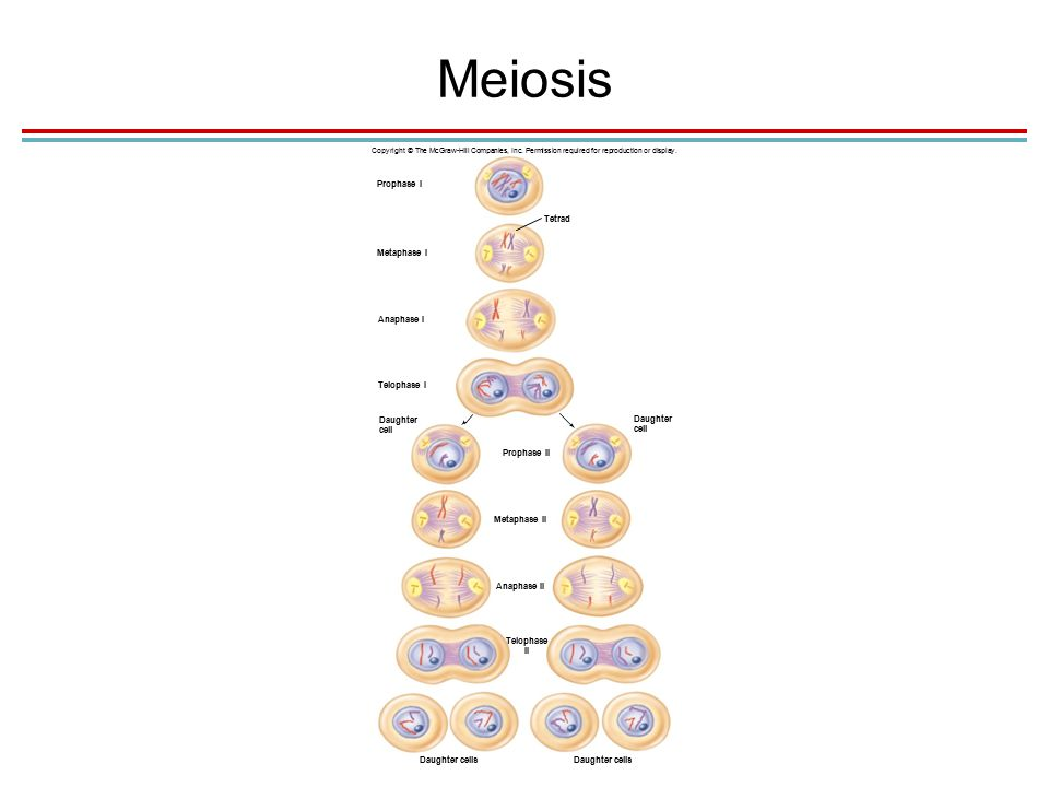Meiosis Copyright © The McGraw-Hill Companies, Inc.
