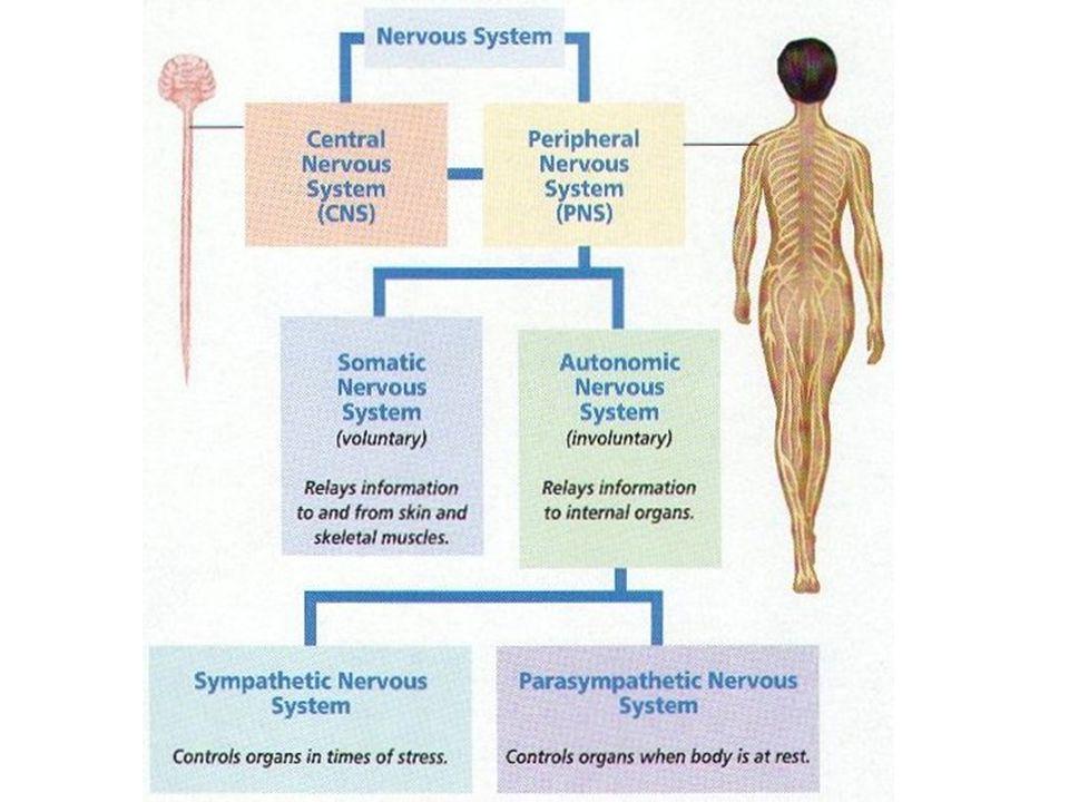 Chapter 50 Nervous System And Sensory Organs 50 1 Central Nervous