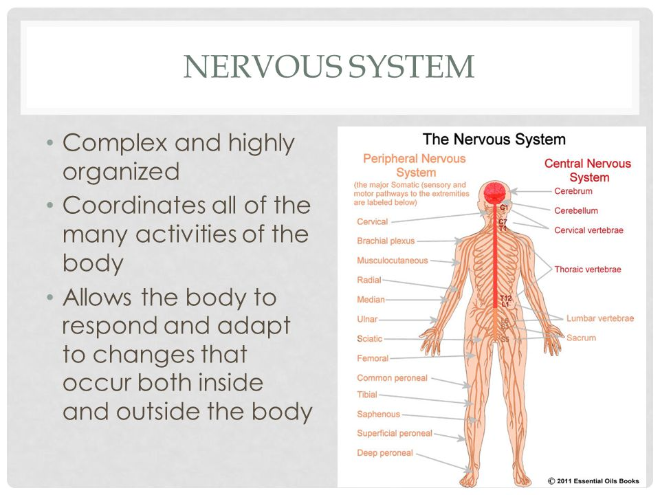 body systems review nervous system complex and highly organized