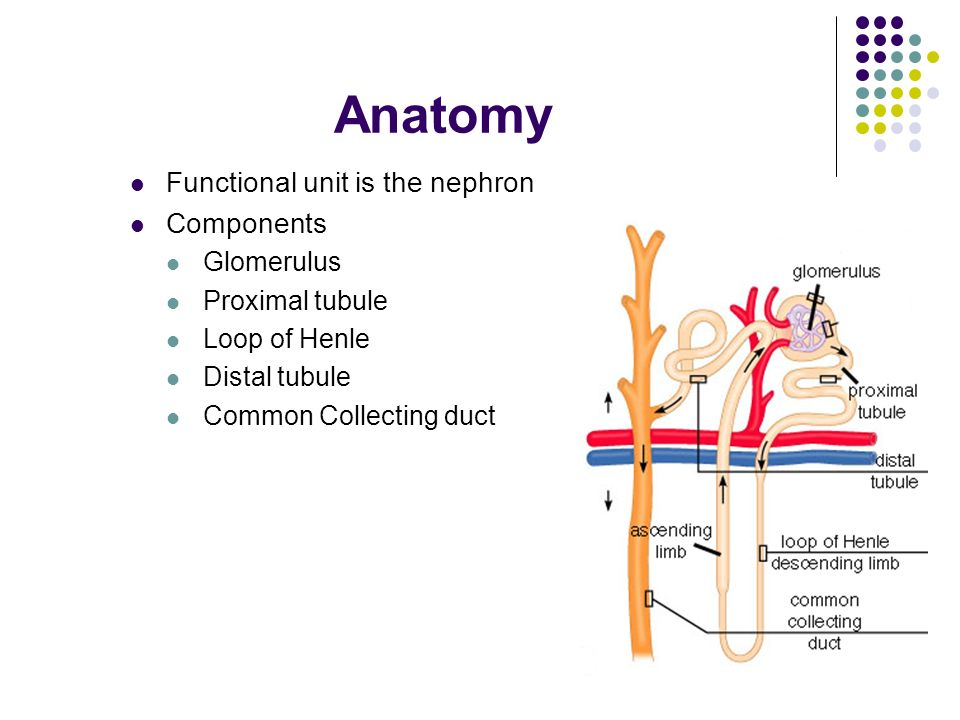 Human Anatomy and Physiology Renal function. Functions Regulation of ...