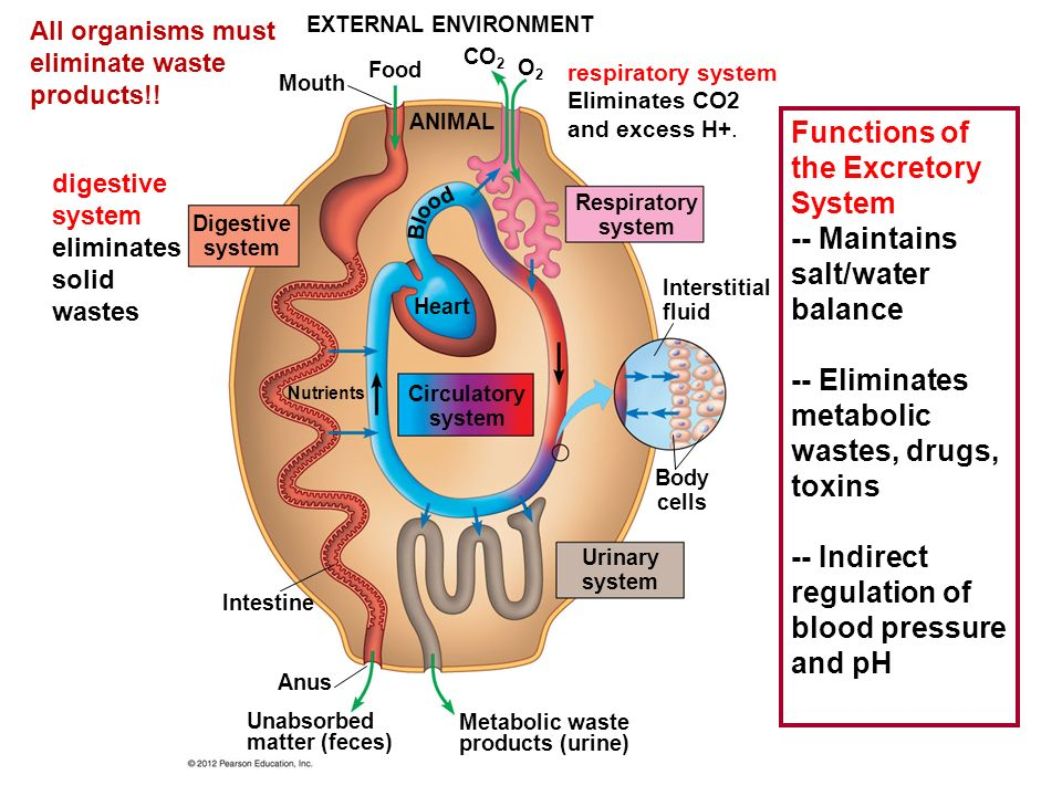 External Environment Mouth Food Co 2 O2o2 Animal Digestive System