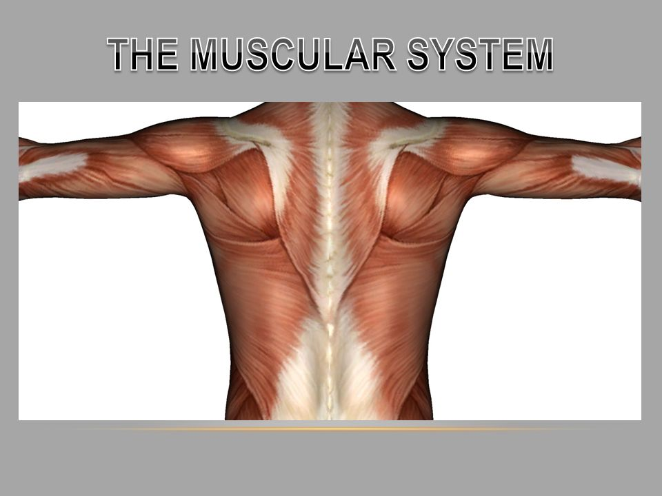 Overview How Many Muscles Are In The Human Body There Are 640