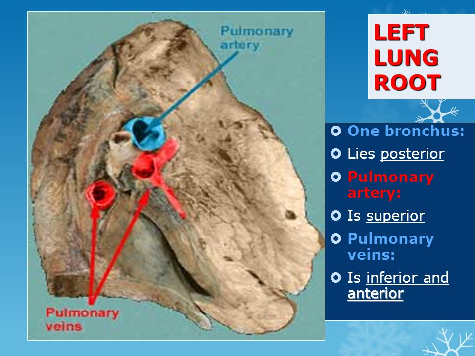 LEFT LUNG ROOT  One bronchus:  Lies posterior  Pulmonary artery:  Is superior  Pulmonary veins: anterior  Is inferior and anterior